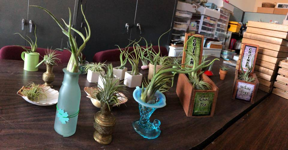 Air/Succulent plants pictured for sale